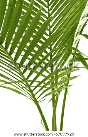 palm leafs coconut tree - stock photo