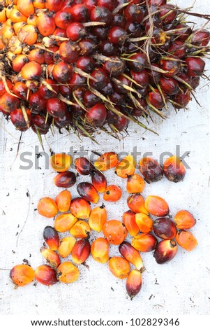 Palm Oil Fruits - stock photo