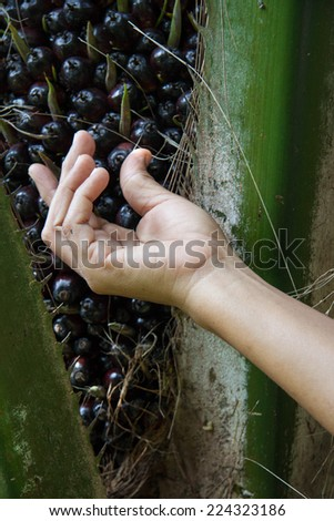 Palm oil in hand, Palm oil garden. A well-balanced healthy edible oil is now an important energy source for mankind. - stock photo