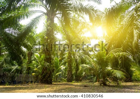 Palm oil plantation and morning sunlight
