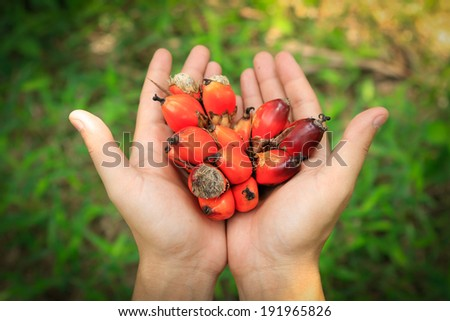 Palm oil seed on hand - stock photo