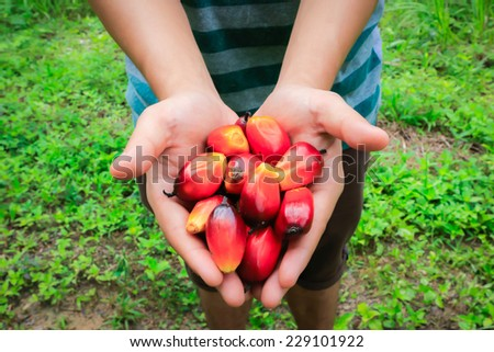 Palm oil seeds on hand - stock photo