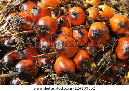 Palm Plat Seed Cluster Fruit - stock photo