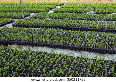 palm seed in plantation - stock photo