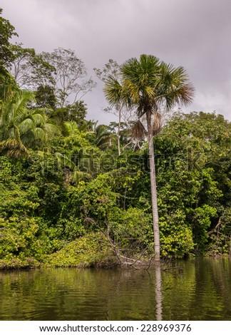 Palm tree and jungle at Lake Sandoval, Peru. - stock photo