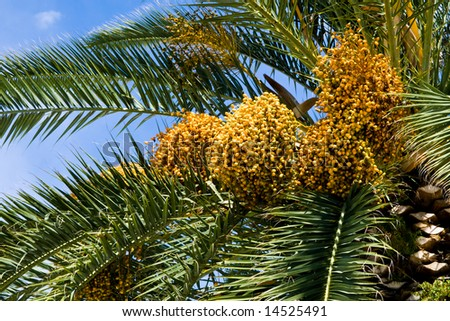Palm tree detail with sky and fruits