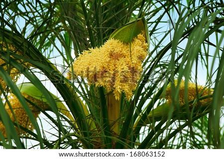 palm tree flower - stock photo