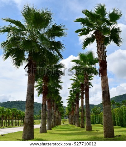 palm tree grow up in two straight line with blue sky and mountain in the background and green grass on the floor