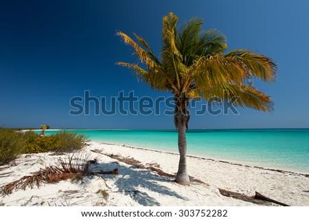 Palm tree in Cuba - stock photo