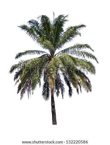 Palm tree isolate