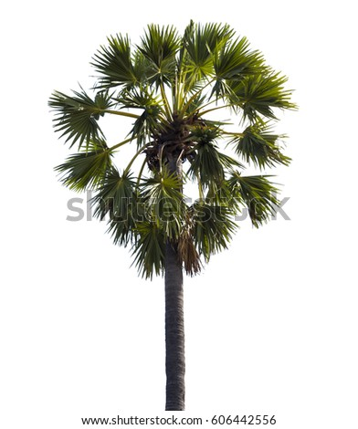 Palm tree isolated on a white background.