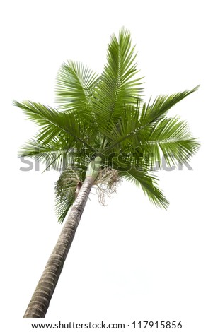 Palm tree isolated on white background - stock photo