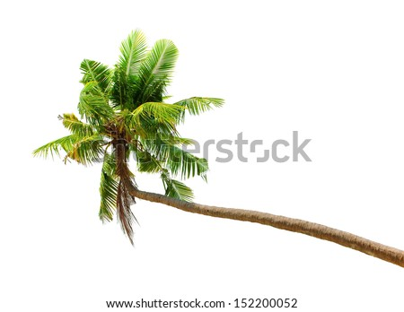 Palm tree isolated on white background. Green coconut palmtree tropical nature plant - stock photo