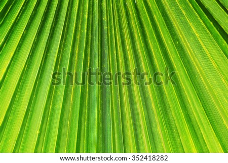 Palm Tree Leaf Closeup / Close up photo of a green palm tree leaf. Texture, lines and veins are visible