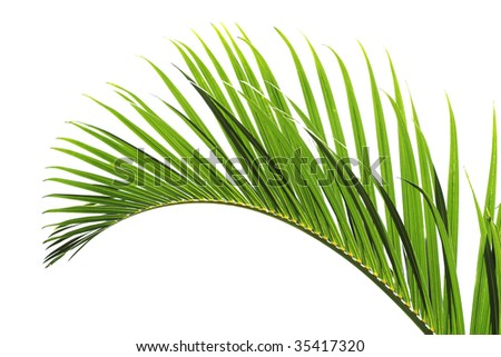 palm tree leave close-up - stock photo