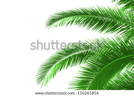 palm tree leaves isolated on white