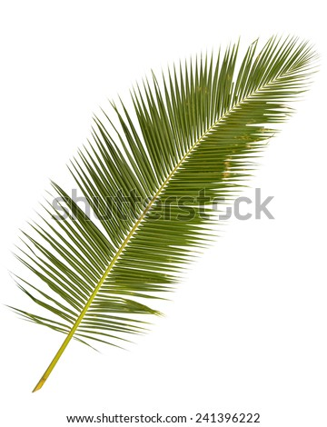 palm tree leaves isolated on white backgroud - stock photo
