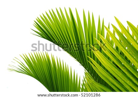 Palm tree leaves on white background - stock photo