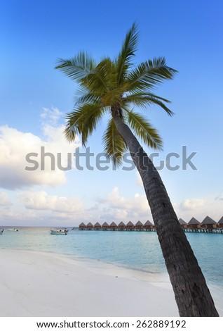 Palm tree on a sandy beach at the cyan sea. Maldives.  - stock photo