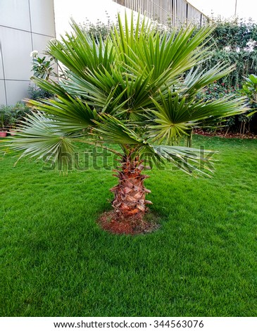 Palm tree on the grassland in the park / outdoor - stock photo
