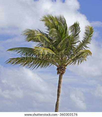 Palm tree over blue sky - stock photo