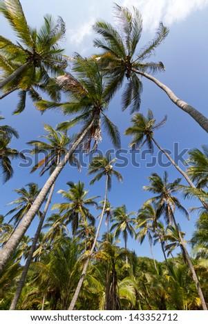 Palm Tree, Tayrona, Colombia - stock photo