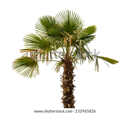 Palm tree with fading leaves on a white background