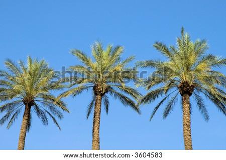 Palm Trees 2 - stock photo