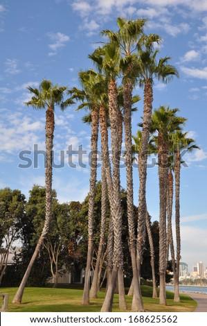 Palm Trees at Coronado Island in San Diego, California - stock photo