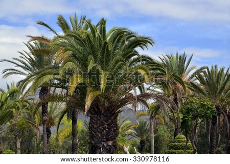 Palm trees in the park on Tenerife,Canary Islands.