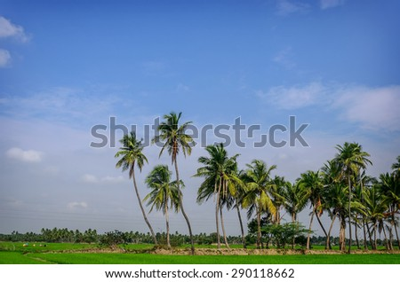 Palm trees on rice field. Tamil Nadu, India