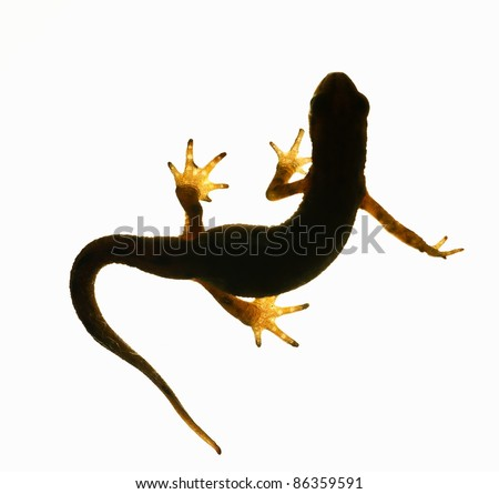 Palmate newt. Dark silhouette of a newt  isolated on a white light background. Triturus helveticus. Lissotriton helveticus - stock photo