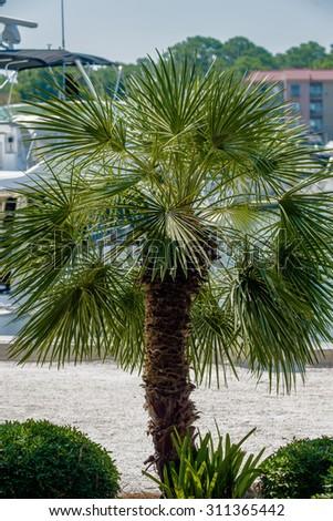 Palmetto tree set against a Carolina blue sky. - stock photo