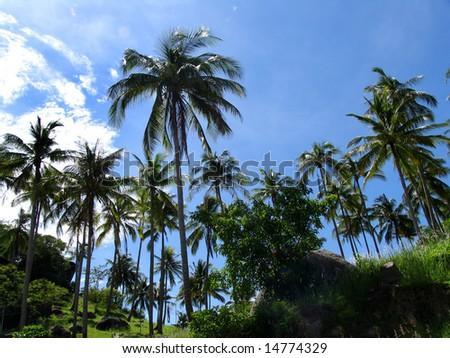 Palms in the nice Thailand sky, Ko Tao Island - stock photo