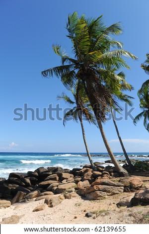 palms near sea sri lanka - stock photo