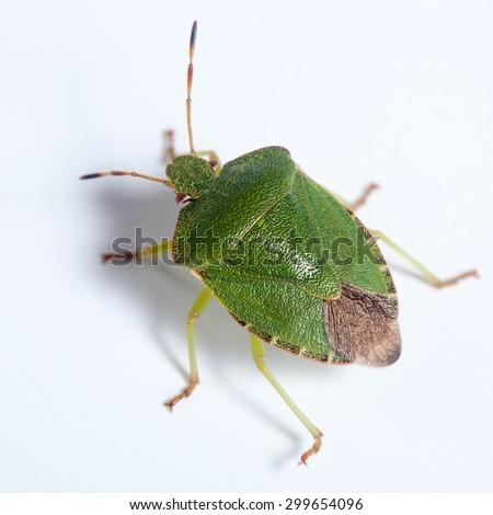 Palomena prasina, Green shield bug. Green insect - stock photo