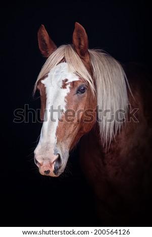 Palomino horse portrait on black background - stock photo