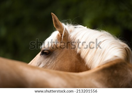 Palomino horse with a white mane, portrait close up - stock photo