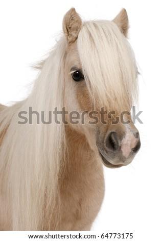 Palomino Shetland pony, Equus caballus, 3 years old, in front of white background - stock photo