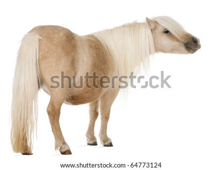 Palomino Shetland pony, Equus caballus, 3 years old, standing in front of white background - stock photo