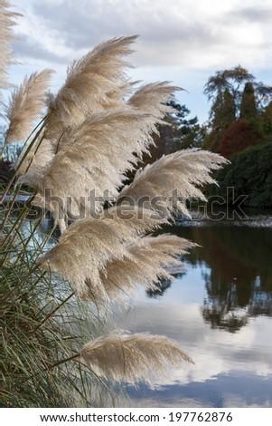 Pampas Grass - stock photo