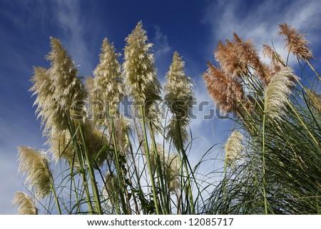 Pampas Grasses, New Zealand - stock photo