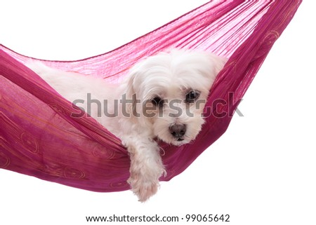 Pampered puppy dog relaxes in a pretty pink purple gold hammock - stock photo