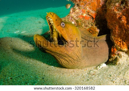 Panamic Green Moray Eel (Gymnothorax castaneus), mouth wide open resting in reefs of the Sea of Cortez, Pacific ocean. Cabo Pulmo, Baja California Sur, Mexico. Cousteau named it The world's aquarium. - stock photo