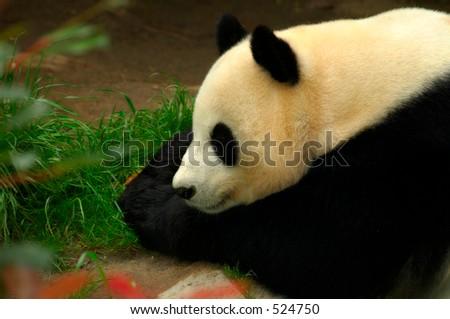 Panda at Rest - stock photo