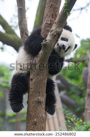 Panda bear climbing tree - stock photo