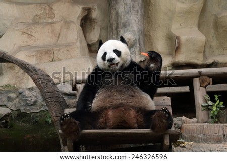 panda bear eating carrot in the zoo - stock photo