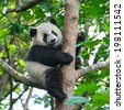 panda bear in tree