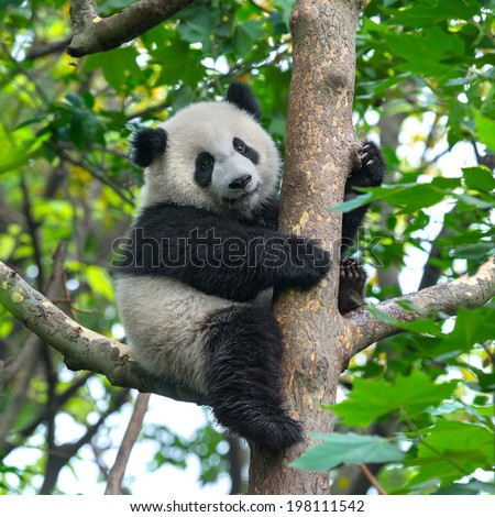 Panda bear in tree - stock photo