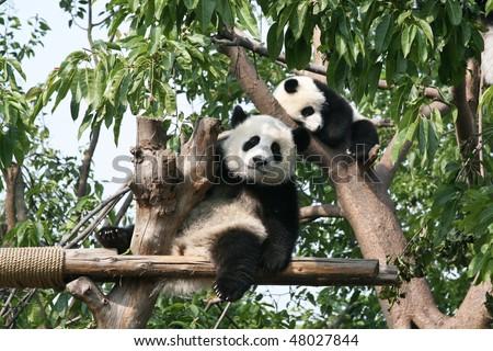 Panda bear in tree looking straight at camera - stock photo